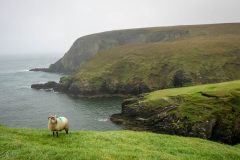 Lone-Sheep-at-Erris-Head-scaled